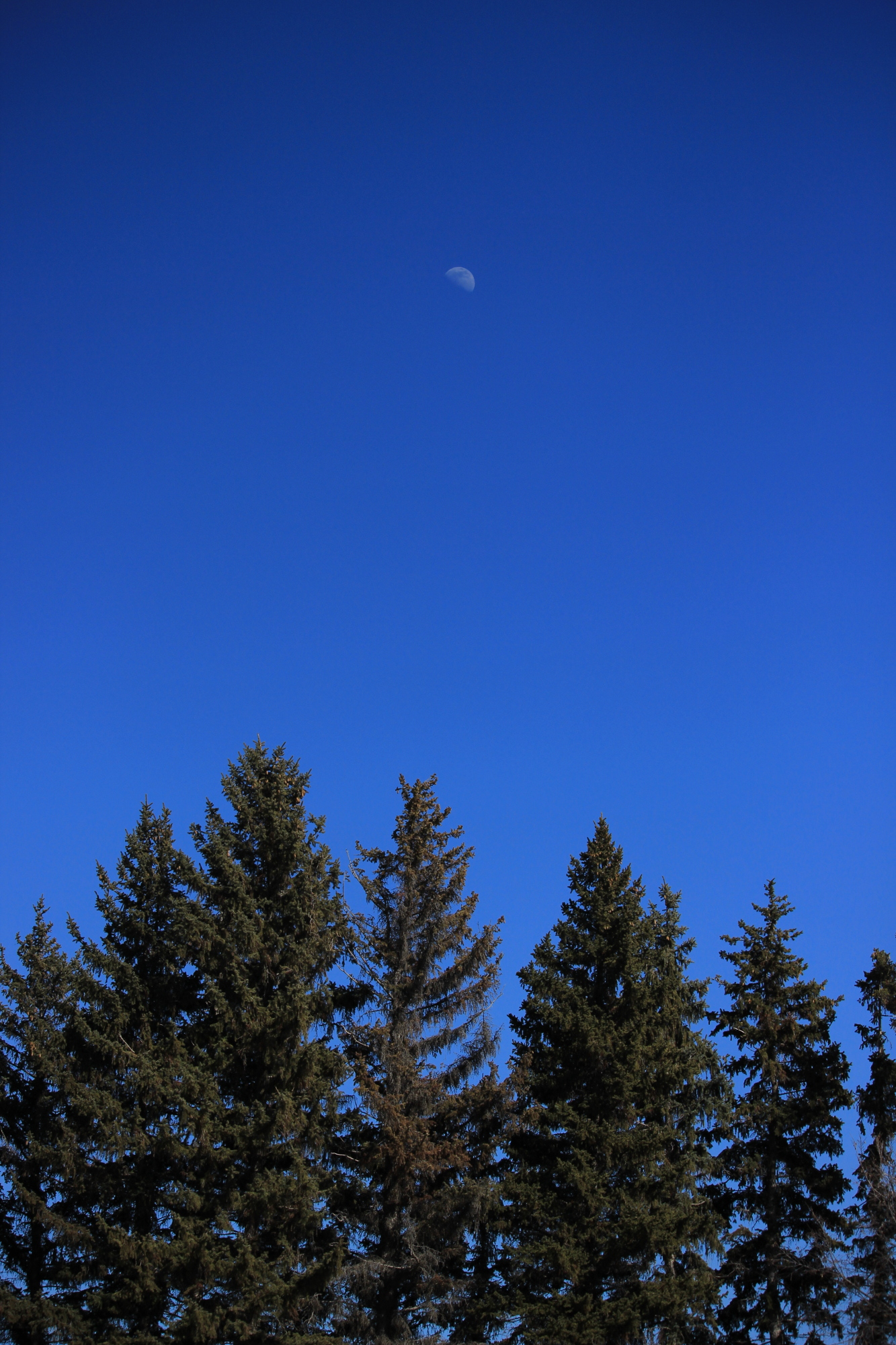 The half-moon in the east above a row of pine trees