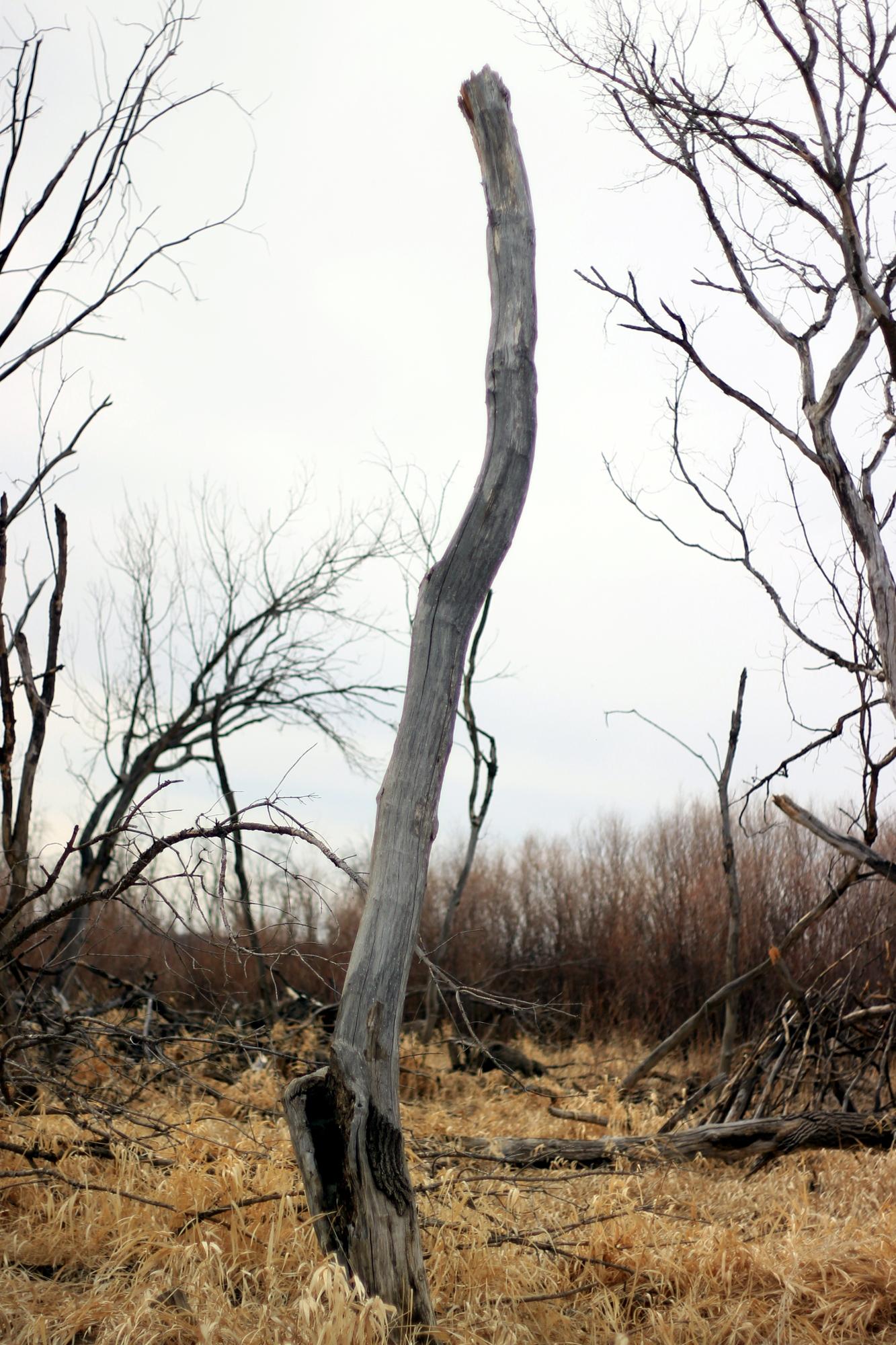 Dead, barren tree