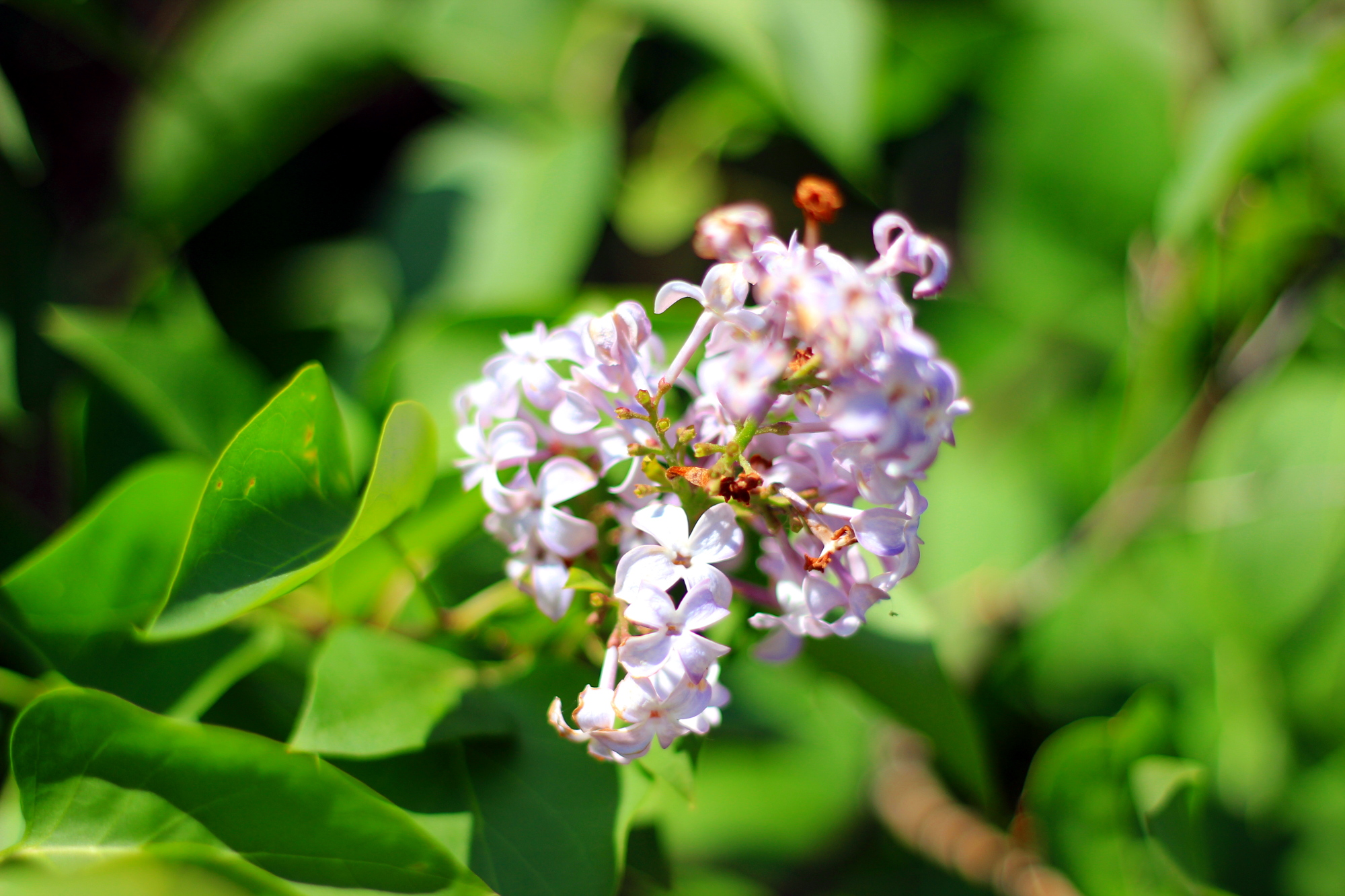 Lilac, close up