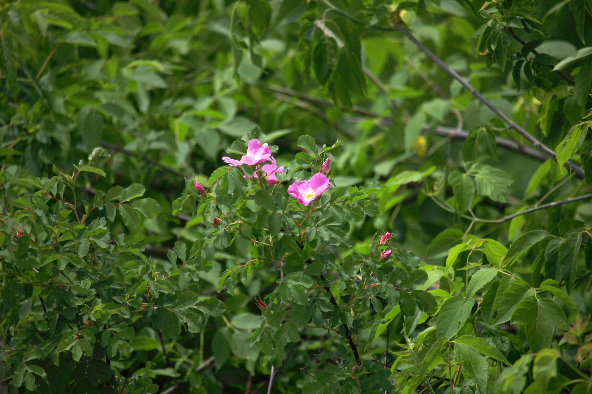 Pink flowers in the greenerry