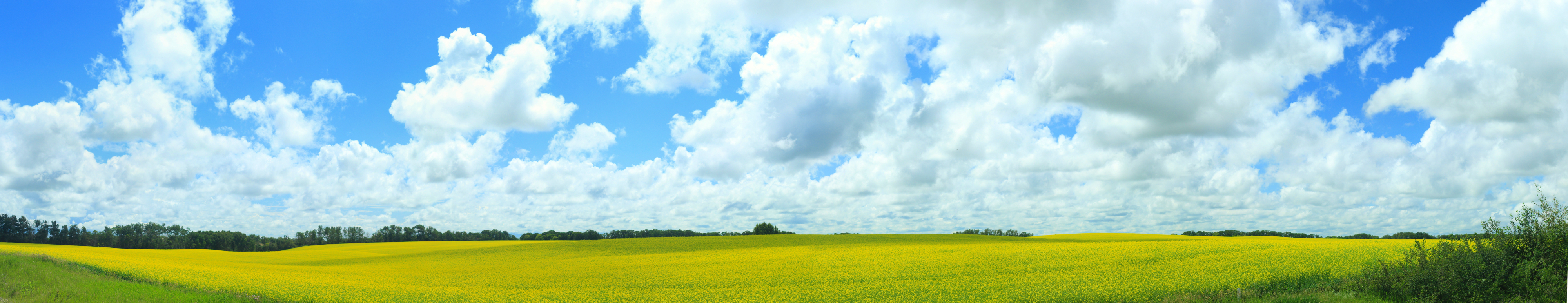 Canola field panorama
