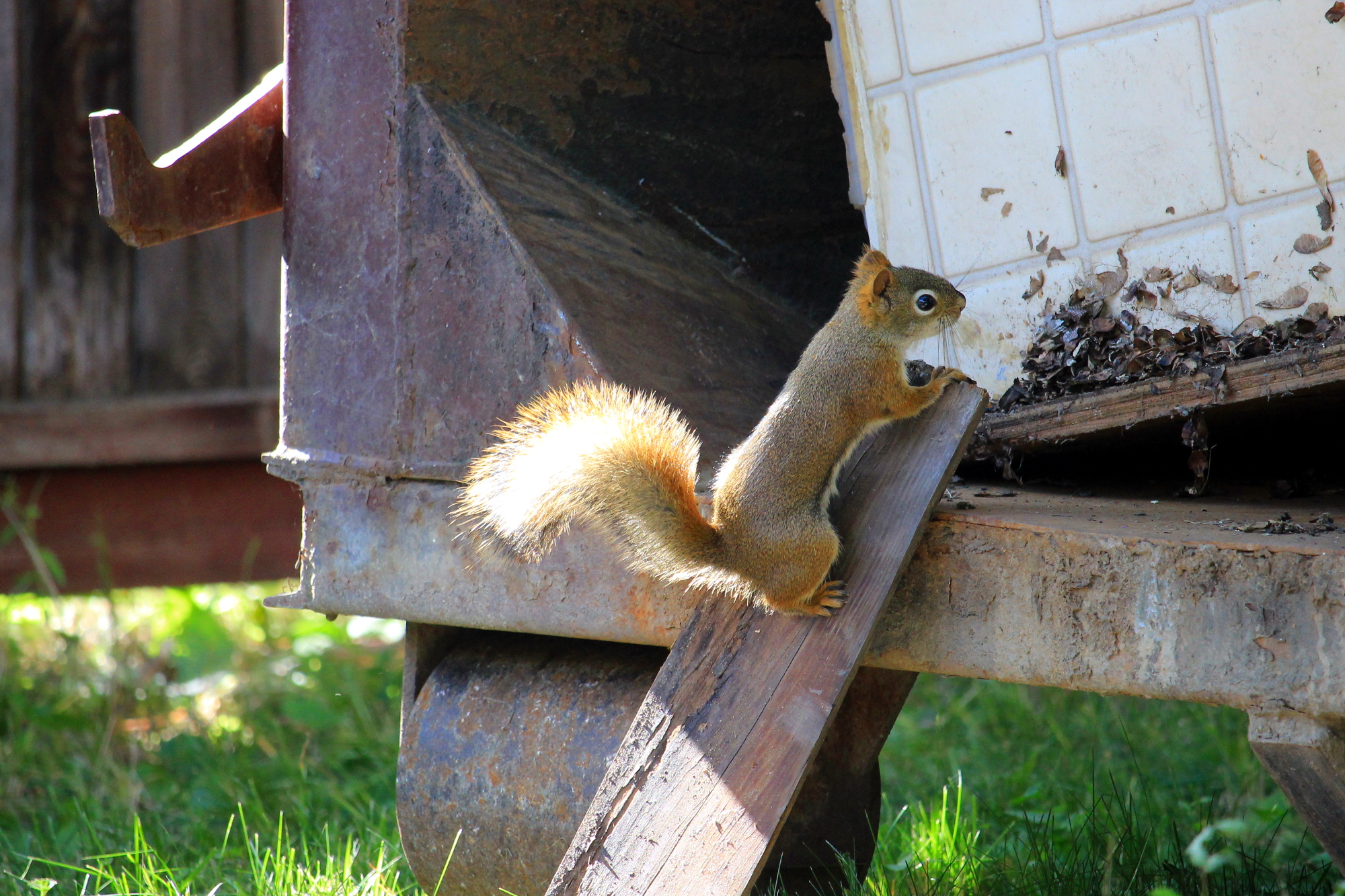 The squirrel checks out the dumpster