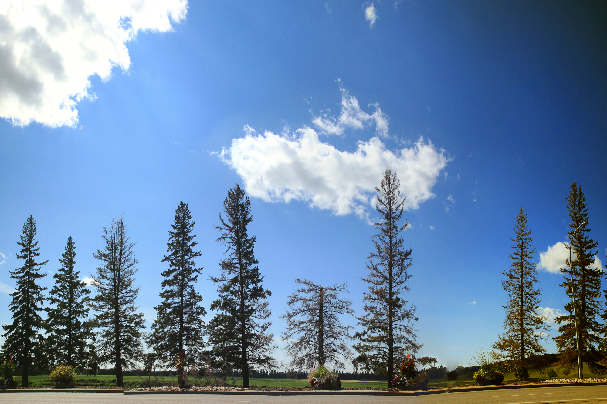 Panoramic photo of the pines on 18th Street; one has been lopped off about halfway up