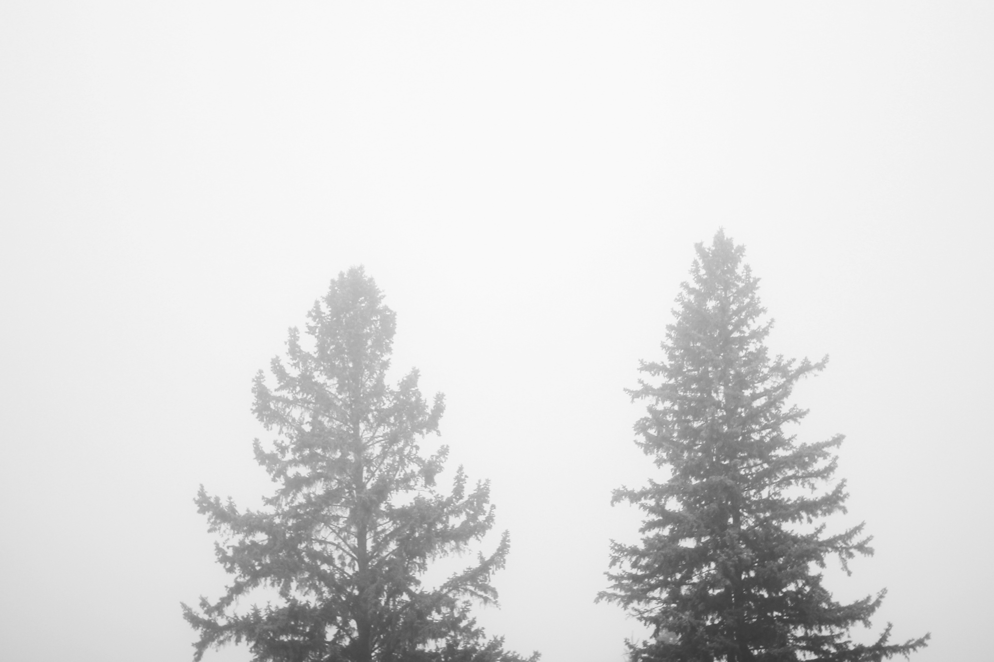 Trees in the fog (black and white)