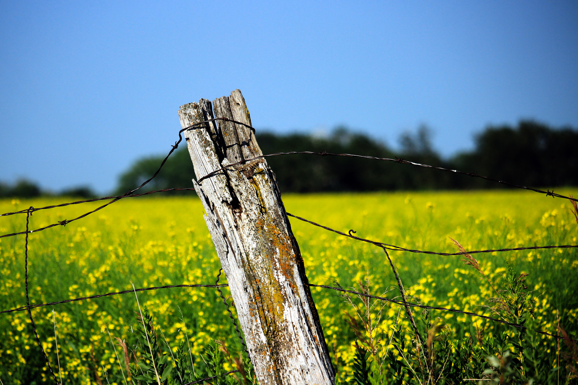 Fencepost in the foreground; canola in the background
