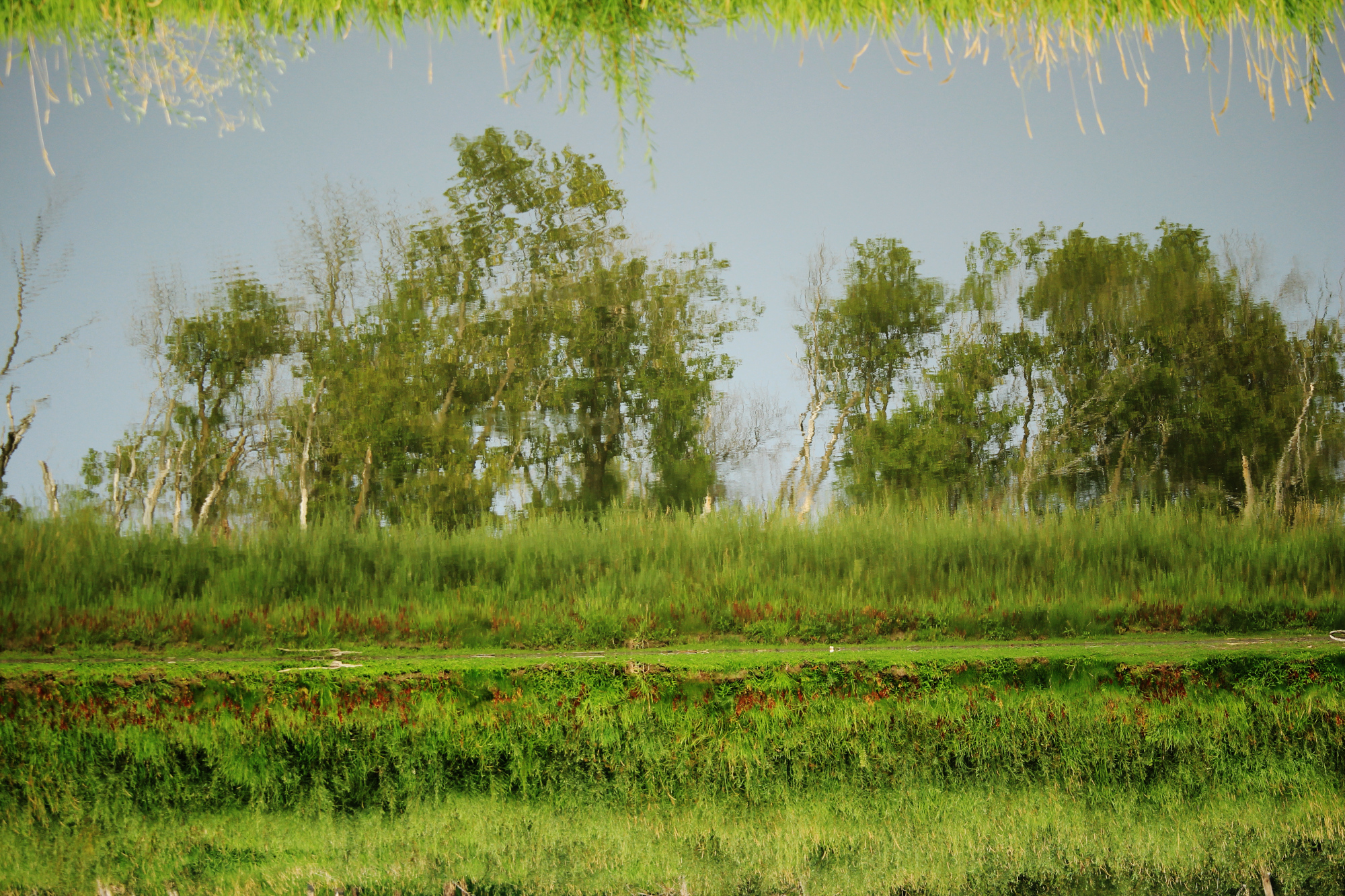 Trees reflected in the Assiniboine River